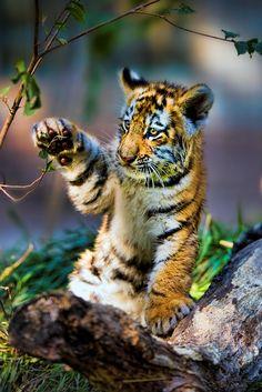 Cute little tiger