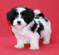 pic only maltipoo black and white..so sweet GRR Animals