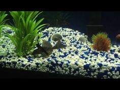 Feeding Algae Wafers to 60 Gallon Tank with Large Pleco - YouTube