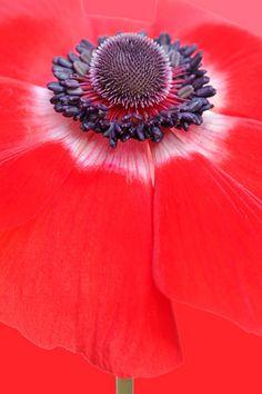 Anemone by brianrosshaslam, via Flickr