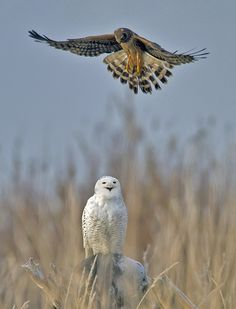 Northern Harrier and a Snowy Owl, by Duke Coonrad; 2012 Photo Awards Top 100 | Audubon Magazine