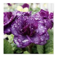 Raindrops Shower Curtain  A beautiful primrose flower with raindrops $45.99 #podpinparty #designsbyalondra