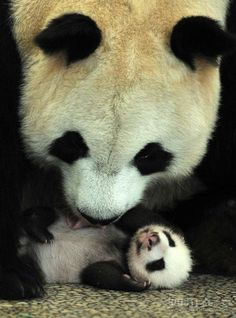 I Will Always Love Panda Bears. Cute The Baby With It's Mommy