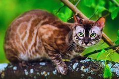 Bengal Kittens Bengal cat Batman is a lovely CHARCOAL MINK, and he is obviously proud of it. Pretty Cats, Beautiful Cats, Cats And Kittens, Ragdoll Kittens, Tabby Cats, Funny Kittens, White Kittens, Adorable Kittens, Black Cats