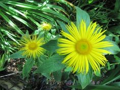 Inula Plant Care: Learn How To Grow Inula Plants..Perennial flowers give the gardener a lot of value for their dollar because they come back year after year. Inula is an herbal perennial that has value as a medicinal as well as an ornamental presence in the yard.