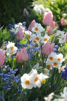 Tulips narcisses and myosotis