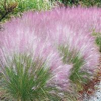 This colorful ornamental grass creates a sweet, pink cloud in the back of a sunny border or as a stand-alone specimen in a perennial bed. Blooms appear in late summer. A dependable variety, Cotton Candy Grass tolerates h Outdoor Plants, Garden Plants, Outdoor Gardens, Patio Plants, Garden Shrubs, Shade Garden, Outdoor Spaces, Cotton Candy Grass, Ornamental Grasses
