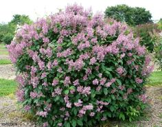 Late Lilac (Syringa villosa)