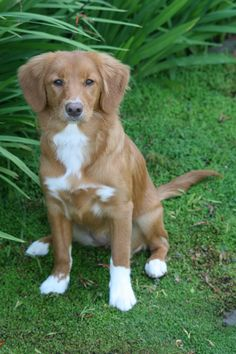 Nova Scotia Duck Tolling Retriever - looks almost exactly like my rescue dog!