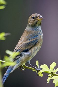 Indigo Bunting. Female Stocky songbird with short, conical bill Warm brown above, paler below Contrasting whitish throat Faint streaks on breast. Summer
