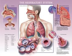 ©Audra Geras  This was created as a patient education poster for a pharmaceutical client. It illustrates the major features of the respiratory system. It also includes spot illustrations depicting sinusitis, pneumonia and bronchitis.