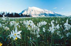 Steiermark Austria, Carinthia, Central Europe, Capital City, Holiday Travel, Daffodils, Alps, Mount Rainier, White Flowers
