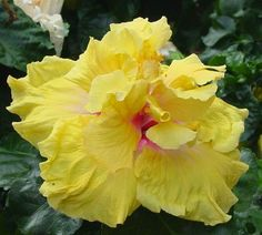 14 Best Tropical Hibiscus Patio Trees Hunting Images In 2015