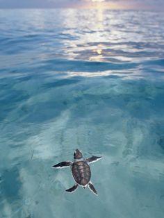 Releasing baby turtles at turtle island near Sabah, Borneo.