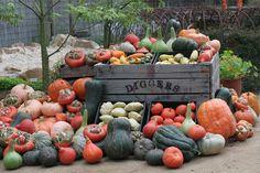 Turk's Turban, Delicata, Potimarron, Australian Butter, Buttercup and Bohemian are just a few of the heirloom varieties of pumpkins available to grow. Pink Halloween, Halloween Christmas, Corn Maze, Edible Garden, Winter Garden, Fall Pumpkins, Gourds, Harvest, Seeds