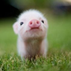 This is probably the cutest pot belly pig I have ever seen!!!!! I want it!!!!