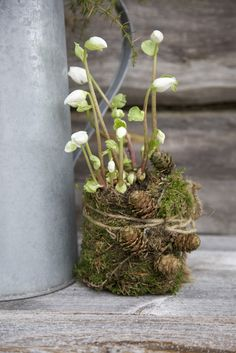 Hellebores in a nest