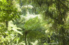 La forêt de nuages de Santa Elena à Monteverde : une expérience quasi mystique. Costa Rica, quetzal, forêt tropicale, écosystème, flore, forêt primaire