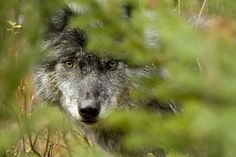 Wolf Photograph - Grey Wolf, Outside Golden, British by Robert Postma