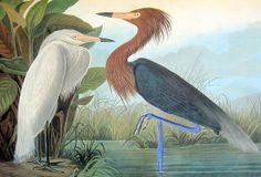 Reddish Egret 1981 Vintage Large Audubon Book by mysunshinevintage