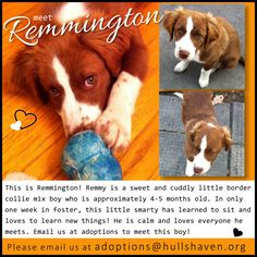 Meet Remington, an adopted Border Collie & Spaniel Mix Dog, from Hull's Haven Border Collie Rescue in Winnipeg, MB on Petfinder. Border Collie Rescue, Border Collie Mix, Mixed Boy, Love Everyone, 5 Month Olds, Foster Parenting, New Things To Learn, Boys Who, The Fosters
