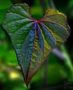 Heart Shaped Leaf | par jo fields