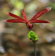 """""""flame skimmer"""" dragonfly  """"twelvespotted skimmer"""