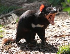 Sarcophilus harissii - The iconic Tasmanian Devil, one of the 130 native inhabitants of Cleland Wildlife Park, set in 35 hectares in the beautiful rolling Adelaide Hills of South Australia. Wyoming, Baby Animals, Cute Animals, Nature Animals, Wild Animals, Funny Animals, Tasmanian Devil, Tasmanian Tiger, Wildlife Park