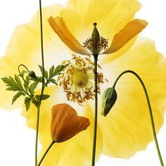 """http://www.igpoty.com/competition01/winners_PlantPortraits_3.asp?parent=winners, accessed 4/6/13, Photographed by Richard Freestone, 'Welsh Poppy', Plant Portraits finalist. A compilation of Mecanopsis Cambrica """"I've always admired the skill of the pre photography botanical illustrators. I particularly like the illustrations where the artist has combined a number of images of a bloom, a bulb and a leaf, for example, into the same composition..'"""