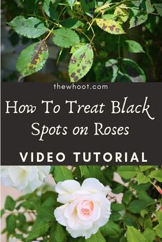 Learn how you can Treat Black Spots On Roses Organically without any harsh chemicals. Watch the video tutorial and get all the steps and tips here. Rose Plant Care, Rose Care, Rose Bush Care, Black Spot On Roses, Pruning Roses, Knockout Roses, Organic Gardening Tips, Indoor Gardening, Vegetable Gardening