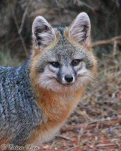 Gray Fox: common in the piñon-juniper woodland of CO; feed on a broad variety of small mammals, reptiles, arthropods and fruits in the montane shrubland Coyotes, Rare Animals, Animals And Pets, Strange Animals, Beautiful Creatures, Animals Beautiful, Fennec, Husky, Grey Fox