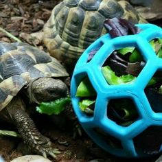 Use a Hol-ee Roller dog toy as a foraging toy for your tortoise! Get a Hol-ee Roller that is a good size for your tortoise. Prepare your tortoise's leafy greens and stuff them into the dog toy. Tortoise Cage, Tortoise House, Tortoise Food, Tortoise Habitat, Sulcata Tortoise, Giant Tortoise, Tortoise Turtle, Tortoise Aquarium, Tortoise Terrarium