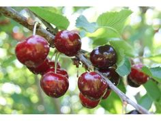www.jardins-du-monde.be Cerisier Bigarreau Van - Prunus BigarreauVan, GREFFÉ BASSE TIGE : acheter en ligne sur Jardins Du Monde.be,  Pépinière, jardinerie en ligne. Livraison partout en Europe.
