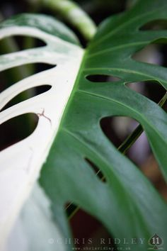Monstera variegata - License Botanical Images & Stock Photography  from http://archive.chrisridley.co.uk - This image is Copyright Chris Ridley.