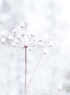 Schneeblumen