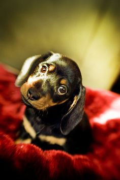 My Favorite Olive the Dachshund Pic