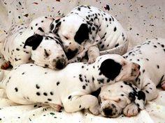 Dalmaçya köpekleri