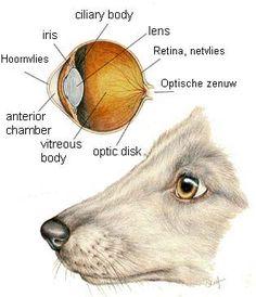 Het oog van de hond