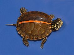 Wide Striped Southern Painted Turtle
