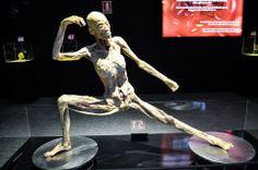 Exposición sobre el cuerpo humano con cuerpos y órganos reales conservados en plastinación. http://la4linea.wordpress.com/2014/06/28/cuerpos-humanos-conservados-plastinacion-para-exposicion/
