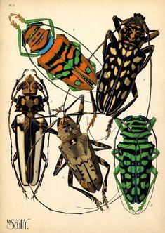 1. Tacua speciosa. Indes; 2. Polyneura ducalis. Indes Or.; 3. Cicada saccata. Australie; 4. Cicada fascialis. Siam; 5. Tozena melanoptera. Indes Or.