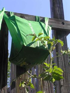 1000 Images About Garden Fruits Vegetables On Pinterest How To Grow Tomato Plants And Milk Jug