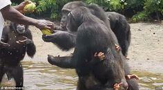 """""""O GRITO DO BICHO"""": Chimpanzés na Libéria usados por laboratório ameri..."""