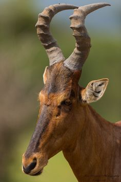 Red Hartebeest portrait. The red hartebeest (Alcelaphus buselaphus caama or A. caama) is a species of even-toed ungulate in the Bovidae family found in Southern Africa. Commonly known as the red hartebeest, it is the most colorful hartbeest, with black markings contrasting against its white abdomen and behind. It has a longer face than other subspecies, with complex curving horns joined at the base.