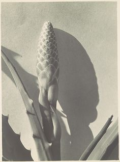 """Aloe Bud"" Imogen Cunningham (American, before 1929 Photograph, gelatin silver print Artistic Photography, Fine Art Photography, White Photography, California Dates, Straight Photography, Imogen Cunningham, Still Life Photos, Gelatin Silver Print, Abstract Nature"