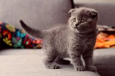 Over Free Animal wallpaper - Scottish Fold 1 - - 9 wallpaper in Dream Wallpaper. Cute Kittens, Fluffy Kittens, Cute Kitten Gif, Kittens Playing, Cats And Kittens, Kitten Wallpaper, Animal Wallpaper, Grey Kitten, Grey Cats