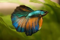 Have you always wondered why your betta makes bubbles? Then read our latest post for interesting facts on betta fish bubble nests! Baby Betta Fish, Betta Fish Types, Betta Aquarium, Pretty Fish, Beautiful Fish, Colorful Fish, Tropical Fish, Poisson Combatant, Betta Fish Tank