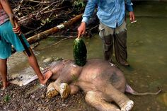 Stop Elephants slaughter in Sumatra now!
