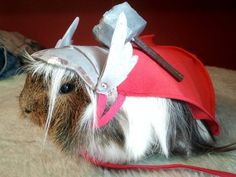 This guinea pig. | 15 Animals Dressed As Thor