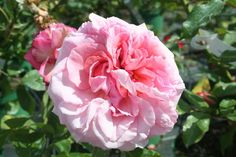 Aloha rose, continuous flowering Modern Climber. A sumptuous rose comprising of 60 or so rose-pink petals with deeper reverses. Healthy growth with dark, leathery foliage. A useful pillar rose or wall plant. Very fragrant, apple scented.